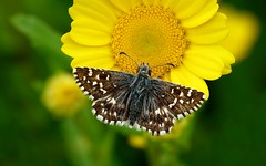 Voy a encender el sol............ (T.I.T.A.) Tags: macro papillon mariposa tita bolboreta pyrgusmalvoides carmensolla bgndaxd carmensollafotografía carmensollaimágenes
