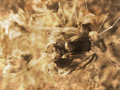 dried flower (Daniella Keen) Tags: flowers white black nature leaves wheel sepia river landscape mushrooms scenery natural roots stems multiple dried exposed driedflowers layered rusing rustig multipleexposed poleroid naturistic