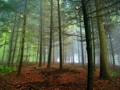 SylvanSuction (BphotoR) Tags: autumn trees light colors fog backlight forest germany october nebel herbst powershot backlit trunks wald farben gegenlicht odenwald naturesfinest bergstrasse supershot g10 abigfave juhhe anawesomeshot bphotor sylvansuction
