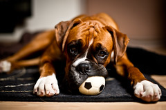 The neverending game (Danny Beattie) Tags: ball toy george boxerdog boxer sonya850