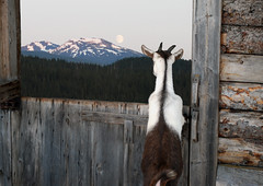 goat looking at the full moon (xtremepeaks) Tags: moon canada mountains animal barn forest evening bc looking farm goat full inside bigmomma thechallengefactory