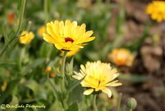 Flower (RajivSinha Photography) Tags: flower photography rajiv sinha rajivsinhaphotography