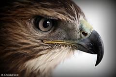 Águila (Seb@stián Rebolledo) Tags: macro canon eos is spain eyes eagle mark adler murcia ii ave l 5d 100 mm usm f28 ef orel alcantarilla águia objetivo aigle orły عقاب αετόσ örnar орлиные rapazaguila cetreríaespaña