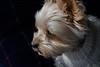 2012 santa (shinichiro*@OSAKA) Tags: 20120124dsc0435 2012 crazyshin nikon1j1 1nikkorvr30110mmf3856 aroundhome kawasaki kanagawa japan macro winter january 晴れの日 dog petdog yorkie santa