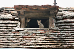 curious (next_in_line) Tags: roof window cat kitten kitty tiles
