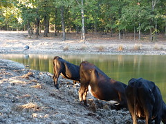 Texas drought of 2011 (cowgirls8) Tags: texas cattle cows drink dry drought ponds thirsty