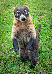 El tejón (do everything for food) (uhx72) Tags: look animal nice badger racoon coati tejon mapache procyon nasua