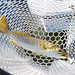 Spotted seatrout in net closeup