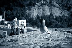 Artaban ! (Gabi Monnier) Tags: sea mer bird proud canon pigeon hiver jour cassis fier wow1 provencealpesctedazur exterieur flickraward canoneos600d