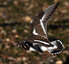 The Turnstone - EXPLORED (SNAPDECISIONS !) Tags: wildlife avian turnstone wildbirds britishbirds birdphotos birdsofthebritishisles snapdecisions theworldofbirds birdperfect birdsofbritonandeurope