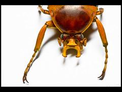 Jevels-12 (Mashku) Tags: nature beetle insects beetles coleoptera scarabeidae cetoniidae cetoniini cetoniine