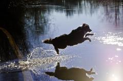 Getting Air (BnGphotos) Tags: park dog dogs swimming portraits washington walk swiss hike redmond 70300mm bernese offleash marymoor d7000 mountainnikon
