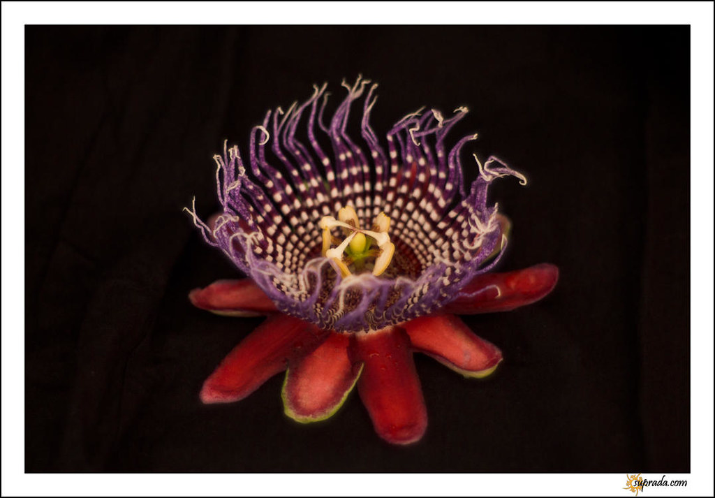 Passion Flower - 2
