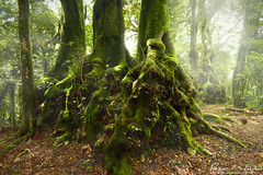 three amigos (Pawel Papis Photography) Tags: old morning light mist cold tree wet monster fog forest giant landscape moss ancient rainforest atmosphere australia soil queensland mysterious mystical cooler climate beech antarctic lamington goldcoast springbrook hinterland nothofagusmoorei