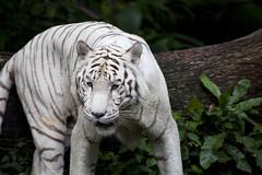 IMG_2404 (Marc Aurel) Tags: zoo singapore tiger tigre singapur whitetiger zoologischergarten singaporezoo weddingtrip hochzeitsreise bengaltiger pantheratigris zoologicalgarden königstiger pantheratigristigris royalbengaltiger pantheratigrisbengalensis weisertiger 5dmarkii eos5dmarkii indischertiger tigrebiancha
