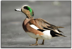 American Wigeon On Ice (Robin-Wilson) Tags: ice duck colorado coloradosprings coldfeet wigeon dabbler baldpate breedingplummage iridescentgreen