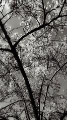 First Blossoms of Spring, Alaskan Way, Bell Pier, Seattle, WA (Jeffrey) Tags: seattle trees plants floral spring afternoon blossom sunday blossoms blossoming awake awaken 2014 aea seattlewashington aeaseattle aeasea