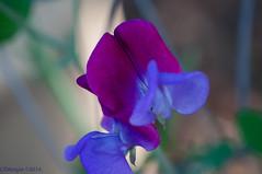 20140420 008.jpg (ctmorgan) Tags: california flowers dublin unitedstates sweetpeaflower
