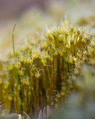 Hairy moss - Mousse poilue (Vincent L) Tags: france nature printemps saison leslandes aquitaine morcenx