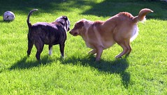 Daisy plays rough and won't  leave old Buster alone. (kennethkonica) Tags: usa dog pets animal america canon movement backyard midwest random outdoor indianapolis indy indiana canine mansbestfriend animalplanet global hoosiers canonpowershot marioncounty