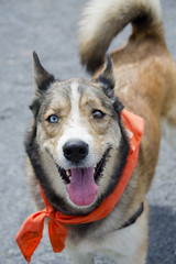 Wilma A190452 (14) (Ottawa Humane Society) Tags: dog dogs animal outside photography spring mix husky outdoor shepherd ottawa german ottawahumanesociety animalshelterphotography