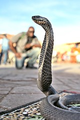 MOR_1534 -1p (Snappr007 (Winston Tinubu)) Tags: travel blur animal cobra pov snake perspective blurred morocco maroc marrakesh framing dop jamaaelfna