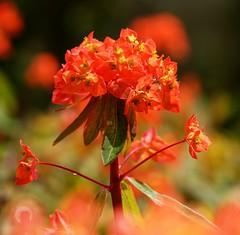 Euphorbia euphoria! (SteveJM2009) Tags: uk light sun colour garden focus dof bokeh may dorset euphorbia bournemouth stance stevemaskell 2016 naturethroughthelens
