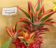 Ananas bracteatus 'Tricolor'
