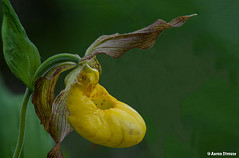 large yellow lady slipper, cypripedium parviflorum var. pubescens (ats8110) Tags: largeyellowladyslipper cypripediumparviflorumvarpubescens michigan native wild orchid d700 nikon focus stacking