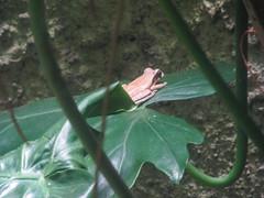 "Santa Elena: la grenouille masquée. Zorrooo est arivééé... <a style=""margin-left:10px; font-size:0.8em;"" href=""http://www.flickr.com/photos/127723101@N04/26722653940/"" target=""_blank"">@flickr</a>"