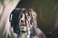 (Rebecca812) Tags: portrait dog brown cute animal dreadlocks canon puppy bostonterrier funny humor wig petportrait obedient canon5dmarkii rebecca812 becausewhatsbetterthanabostonterrierwithdreadlocks