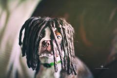 (Rebecca812) Tags: portrait dog brown cute animal dreadlocks canon puppy bostonterrier funny humor wig petportrait obedient canon5dmarkii rebecca812 becausewhatsbetterthanabostonterrierwithdreadlocks