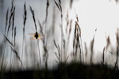 Libelloides coccajus (gnorimus) Tags: sulphur owly libelloides coccajus libellenschmetterlingshaft