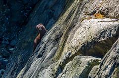 Mink2 (maestro17ca) Tags: ocean park sea fishing bc britishcolumbia wildlife mink coastline westcoast penderharbour sunshinecoast marinepark beaverisland madeirapark wildlifephotography francispointprovincialpark francispointecologicalreserve