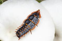 Trilobite beetle (zaidirazak) Tags: macro nature wildlife malaysia sabah duliticolasp zaidirazak