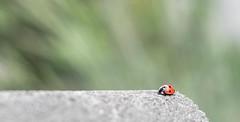 Ladybug (wigerl) Tags: light red rot nature 35mm bug insect austria licht photo sterreich europa europe fuji foto natur krnten carinthia ladybug insekt f28 kfer marienkfer tiffen 2016 xseries feldkirchen xt1 fuji35mm14 fujixt1