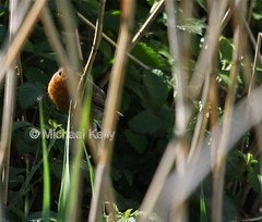Peek A Boo (Flame1958) Tags: ireland bird clare shannon countyclare 0516 2016 irishwildlife irishbird 310516