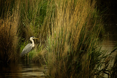 The grey heron (Ardea cinerea) (Aleoko) Tags: fotocompetitionbronze