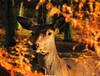 Dazzling Doe and the Bracken haze (Dazzygidds) Tags: nottingham autumn trees england orange colour wonderful colours doe hide bracken wollatonpark reddeer nottinghamshire wollaton bronzed wollatonhall scintillating earspricked posingforthecamera theperfectmoment hintsofgreen