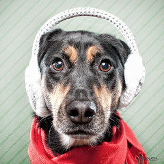Holiday card test shot.... (chad.latta) Tags: winter dog holiday goofy scarf fun nikon perro card earmuffs kayce d300s chadlatta