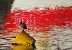 Cormorant (Andrew Gustar) Tags: reflection cornwall harbour cormorant buoy padstow buoyant