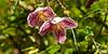 Clematis Cirrhosa Freckles.jpg (Rosarian49) Tags: flowers autumn gardens closeup clematis rosarian49 clematiscirrhosafreckles