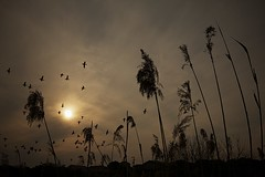 Afternoon Flight (MiAnder Images) Tags: park sun birds silhouette japan fauna clouds flora wildlife ducks  birdsinflight 1022mm bif 2011