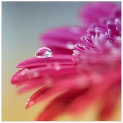 Blob! :0) (Samantha Nicol Art Photography) Tags: pink blue colour macro art nature water yellow square dof bokeh droplet blob samantha gerber nicol