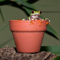 Holding On - Green Eyed Tree Frog (Photo Gal 2009) Tags: red orange colour cute stone holding neon december little small amphibian frog pot mexican american tiny clutch creature gree minute plantpot neongreen holdon clutching babyfrog webbedfeet redeyedtreefrog teracotta littlefrog 2011 orangefeet tinyfrog mexicanfrog redeyedleaffrog cutefrog americanfrog southamericanfrog teracottaplantpot southamericanamphibian mexicanamphibian