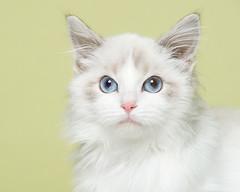 Diva (Piotr Organa) Tags: portrait pet toronto canada cute animal cat kitten bestofcats pet1000 pet2000 100commentgroup aboveandbeyondlevel1