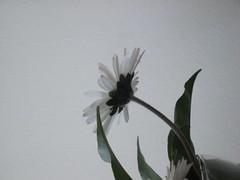 december's flower (maryateresa2001) Tags: mtd sanremo maryateresa