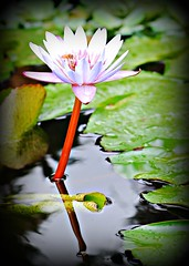 ~~Tropical Waterlily/Oahu, Hawaii #1~~ (TravelsThruTheUniverse) Tags: waterlilies ponds tropicalplants tropicalflowers waterfeatures zengardens exoticflowers summergardens tropicalgardens tropicalfoliage waterinthegarden tropicallandscapes flickrstruereflection1
