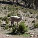 Un piccolo Alpaca sulla Isla del Sol