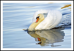 Swan Lake (Fazer44) Tags: england orange white lake bird water canon neck swan wings wildlife beak feathers cambridgeshire muteswan eos7d